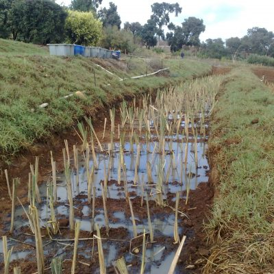 Construction of papyrus and reed wetland in progress for Winery Wastewater Treatment through bioremediation. Dekker Biotech, South Africa